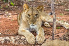 Lion in Zambia Stock Image