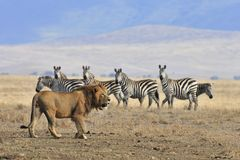 Lion and zebra Stock Photo