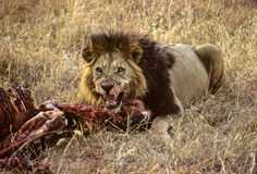 Lion zebra Stock Photo
