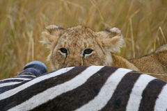 Lion at zebra kill. Lion cub peeking out from behind zebra kill Royalty Free Stock Photo