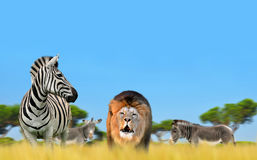 Lion with zebra. Royalty Free Stock Photo