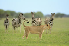 Lion and Zebras Royalty Free Stock Images