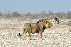 Lion and Zebras in Etosha, Namibia Royalty Free Stock Photos