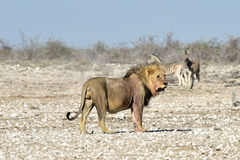 Lion and Zebras in Etosha, Namibia Stock Image