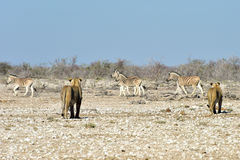 Lion and Zebras in Etosha, Namibia Royalty Free Stock Photography