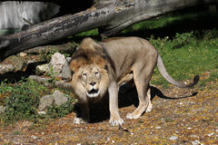 Lion in Zoo Royalty Free Stock Photo