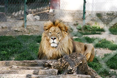 Lion at the zoo Royalty Free Stock Image