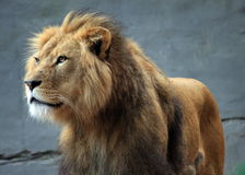 Lion at the Zoo. Male lion at Taronga Zoo, Sydney, Australia Royalty Free Stock Images