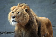 Lion at the Zoo. Male lion at Taronga Zoo, Sydney, Australia Royalty Free Stock Photo