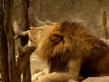 Lion at the zoo. A lion at the zoo resting in the habitat Stock Image