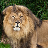 Lion in the Zoo. Male lion in the San Francisco Zoo stock photography