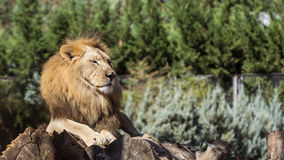 Lion in Zoo Stock Images