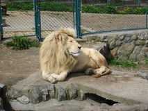 Lion in the zoo. Beautiful lion resting in the zoo. Facing the camera. Looking peaceful and calm Stock Photo