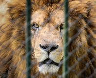 Lion in the zoo behind the fence Royalty Free Stock Photography