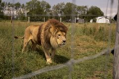 Lion in a field. Lion in a zoo cage Stock Photography