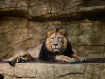 A lion in a zoo enclosure Royalty Free Stock Photos
