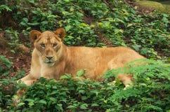 Lion in zoo, Kerala, India Stock Image