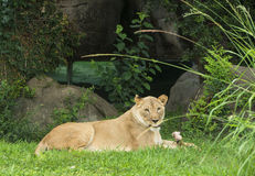 Lion in zoo. Lioness laying down chewing bone in Houston, Texas zoo Stock Photo