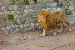 Lion in zoo Royalty Free Stock Photos