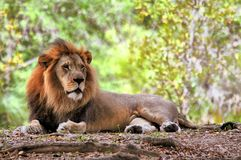 Lion in zoo Stock Photography