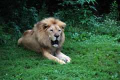 Lion at the zoo. Lion roaring and relaxing at the zoo Royalty Free Stock Image