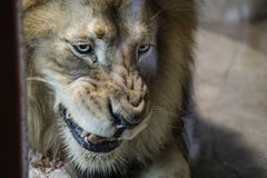 Lion, Zoo Series, nature, animal. Lion chewing on a bone Stock Photos