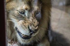 Lion, Zoo Series, nature, animal Stock Photos