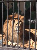 Lion. Zoo view summer wise royalty free stock images