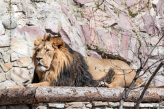 Lion in the zoo Royalty Free Stock Photos