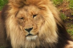Lion01 Royalty Free Stock Images