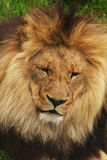 Lion02 Royalty Free Stock Photos