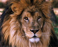 Lion1 Royalty Free Stock Photo