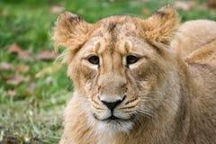 Lion3 indien images stock
