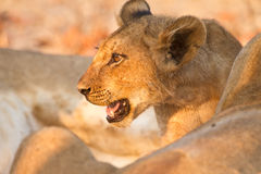 lionbarn Royaltyfria Foton