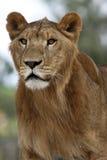 lionbarn Arkivbild
