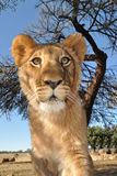 lionbarn Royaltyfri Fotografi