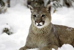 lionberg Arkivfoto