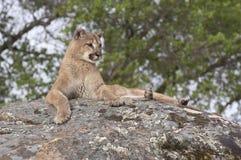 lionberg Fotografering för Bildbyråer