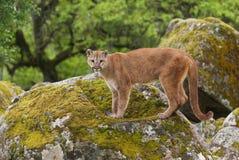 lionberg Arkivbild