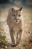 lionberg Royaltyfri Foto