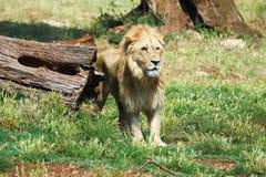 lionbildståenden serengetien tagna tanzania var ung Royaltyfri Bild