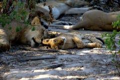 Lions family stock photo