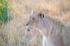 Lione Portrait. Portrait of a lioness. Blood on her skin from a just eaten warthog Stock Photo