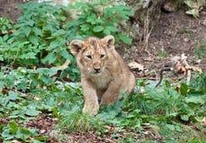 Lionen behandla som ett barn Royaltyfria Foton