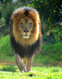 lionen går Arkivbild