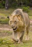 lionen går Arkivfoton