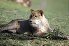 Lionen på vilar royaltyfria foton