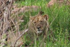 Lionen synar Arkivbild