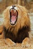 lionen vrålar Arkivbilder