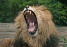 lionen vrålar Royaltyfria Foton